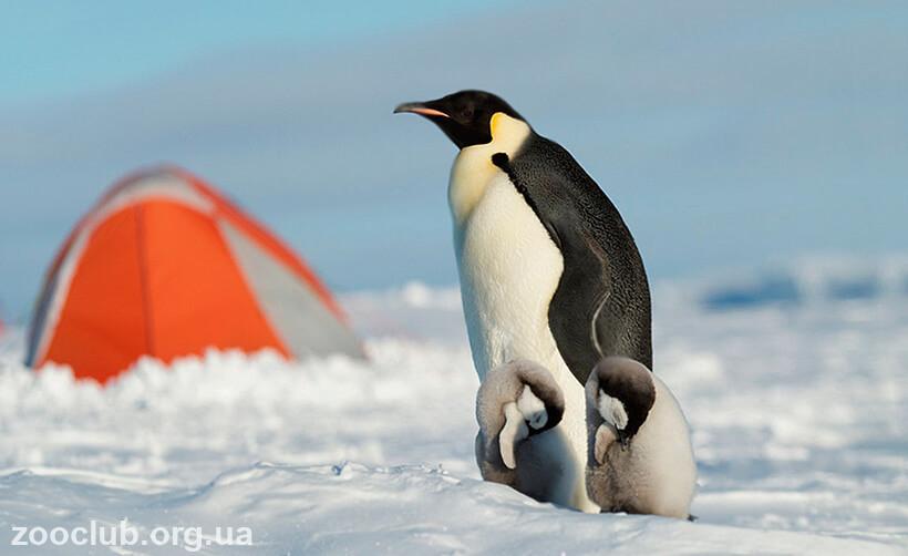 Императорский пингвин красная книга