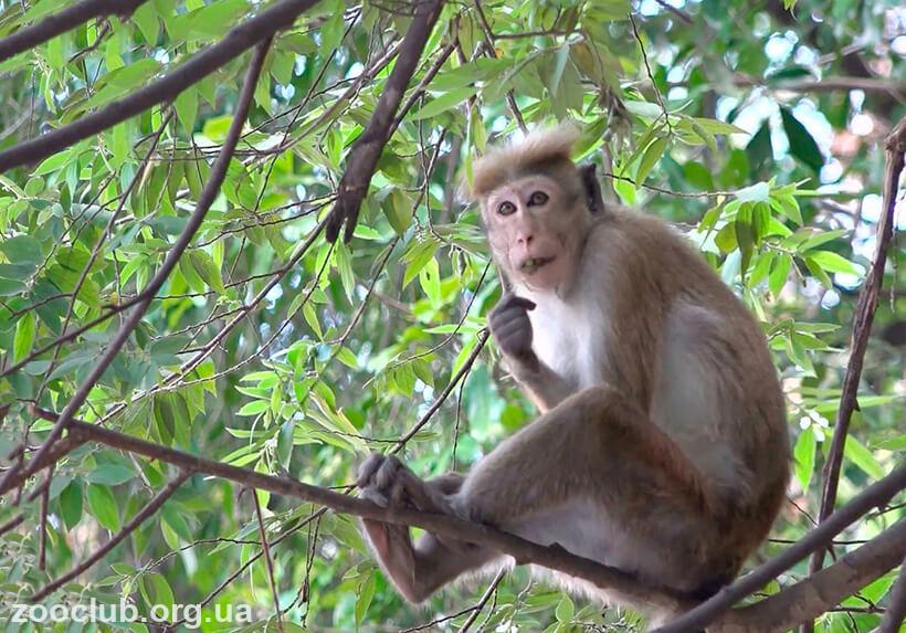 Цейлонский макак фото