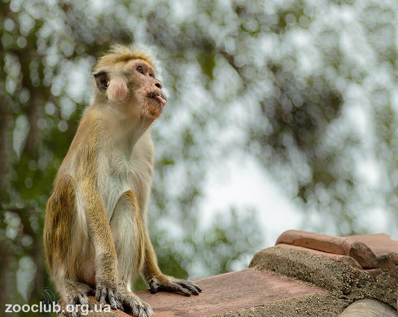 Фото цейлонского макака