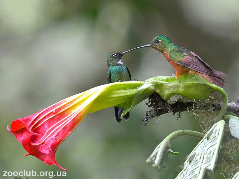 Фото колибри-мечеклюва