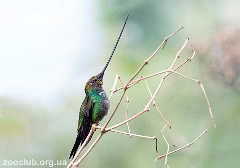 мечеклювый колибри фото