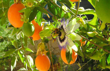 Пасифлора, або страстоцвіт