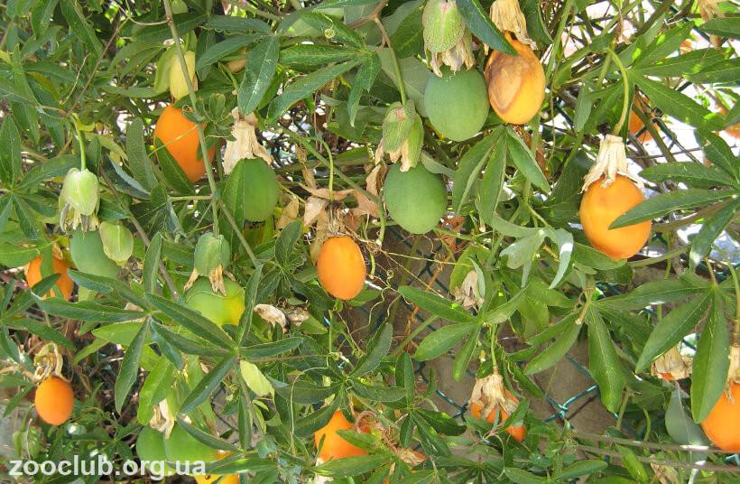 Плоды пассифлоры