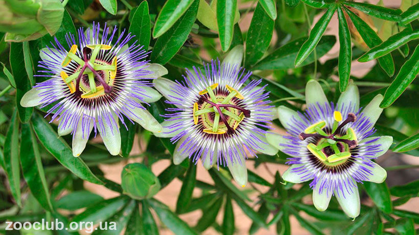 Фото passiflora