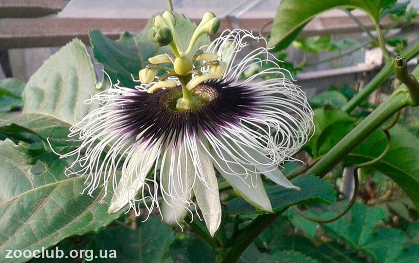 цветок пассифлоры