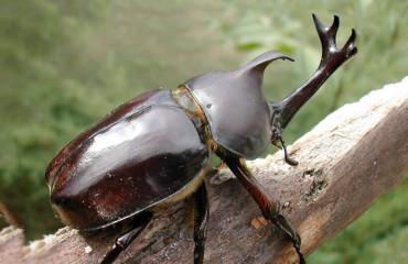 Японский жук-носорог