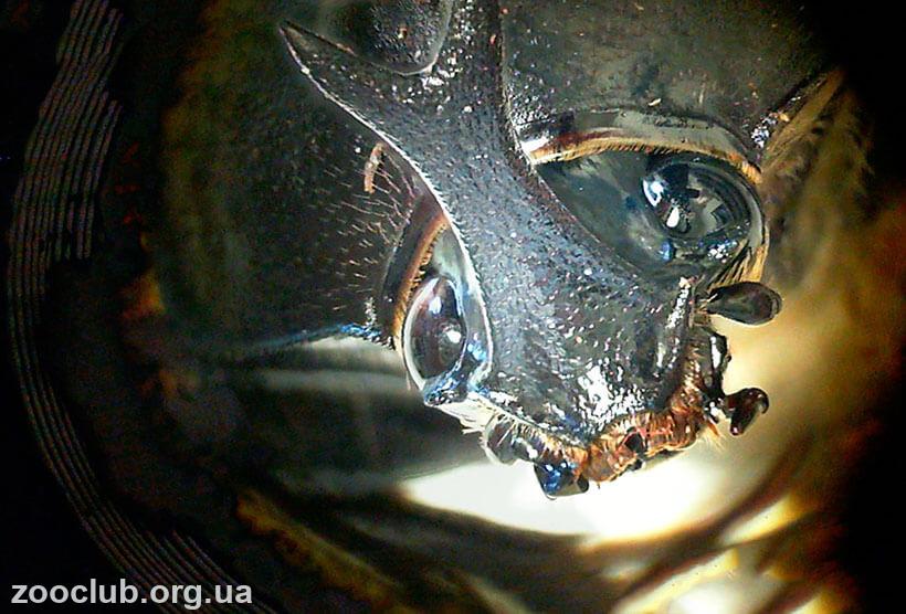 Японский жук-носорог фото