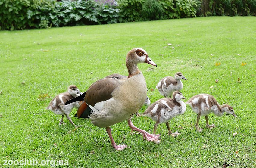 Фото египетского гуся