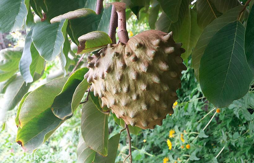 Черимойя плод