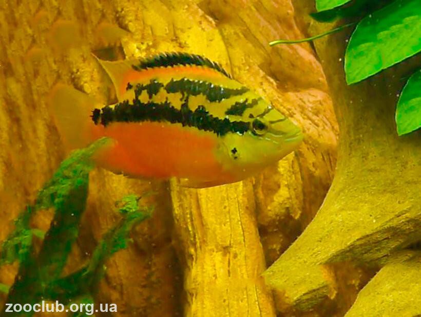 Фото Trichromis salvini