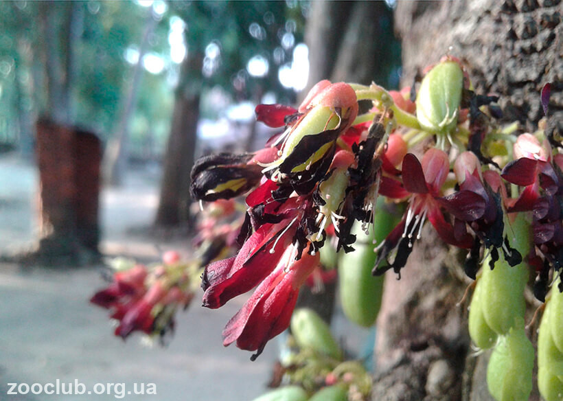 Огуречное дерево фото