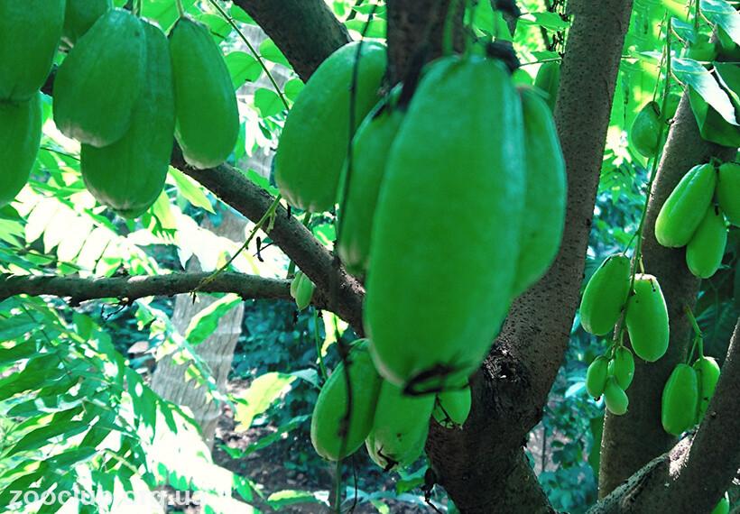 Фото огуречного дерева