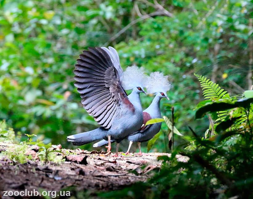 Венценосный голубь фото