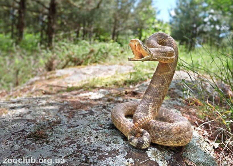 гремучник техасский фото