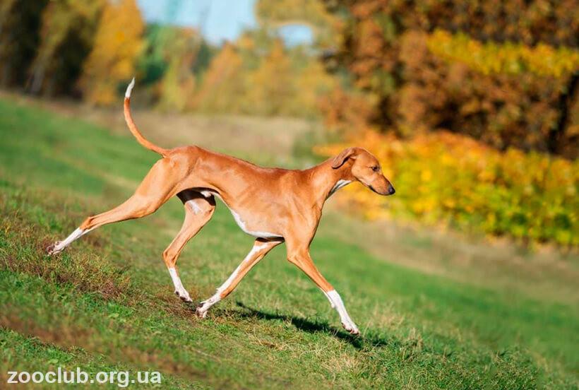 африканская борзая собака