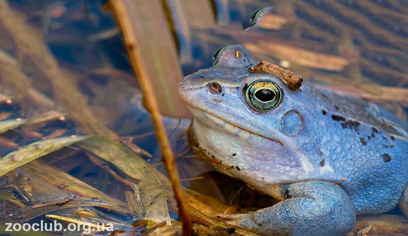 Фото болотной лягушки