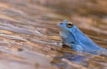 Жаба гостроморда, або жаба болотяна