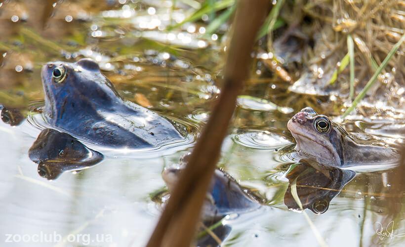 остромордая лягушка фото