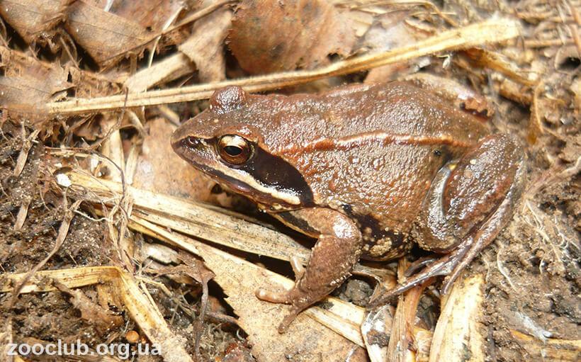 Фото остромордой лягушки