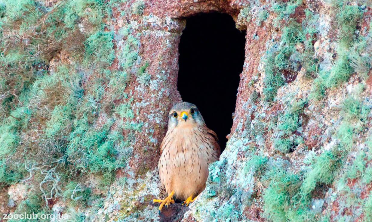 Картинка Falco tinnunculus