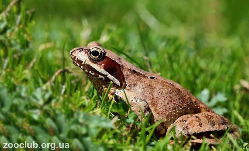 Травяная лягушка интересные факты