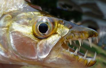 Велика тигрова риба, або риба голіаф