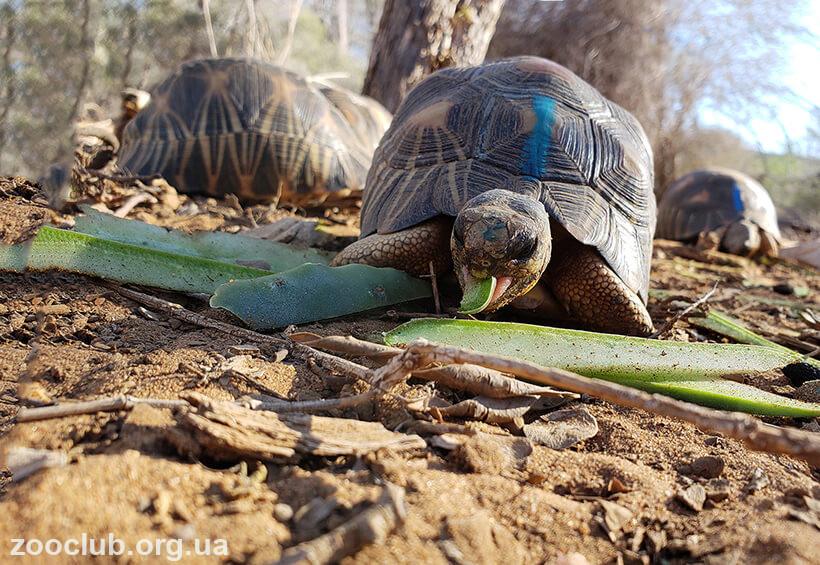 Фото лучистой черепахи