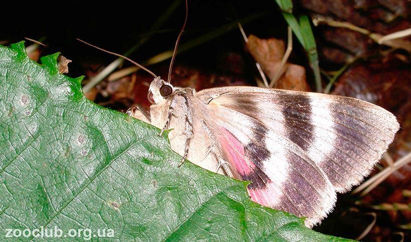 бабочка ленточница ивовая