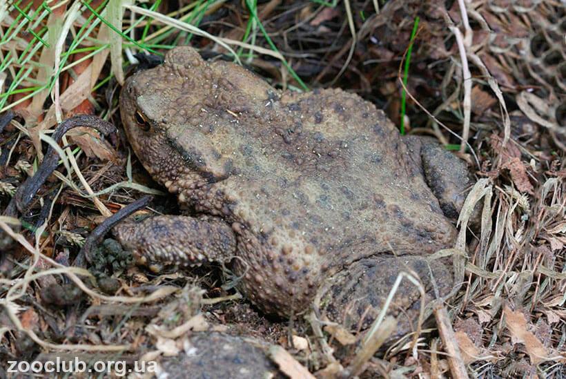 Фото обыкновенной серой жаба