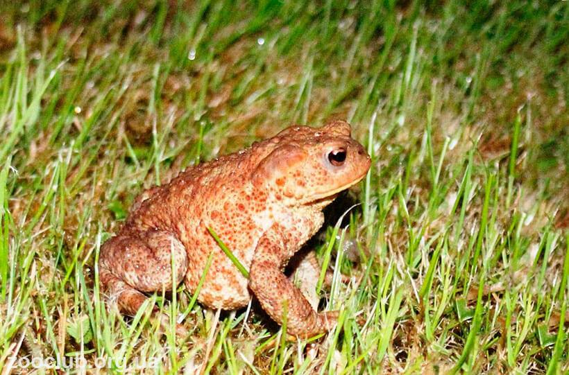 Обыкновенная серая жаба фото