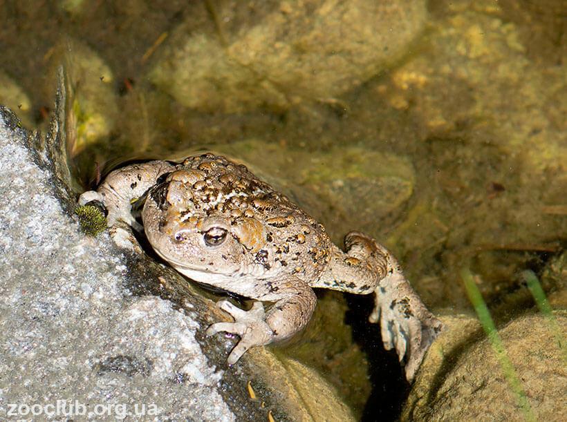 Фото западноамериканской жабы