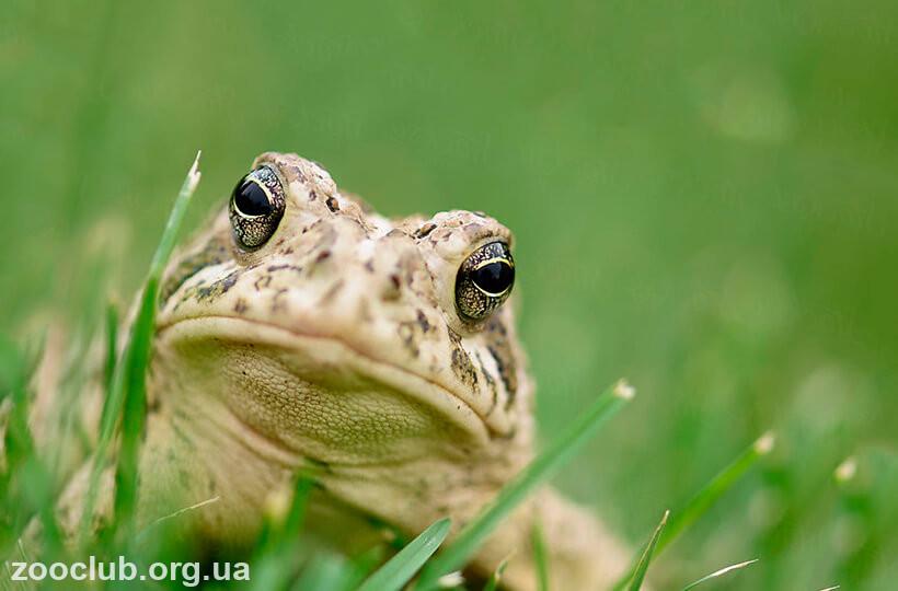 Западноамериканская жаба фото