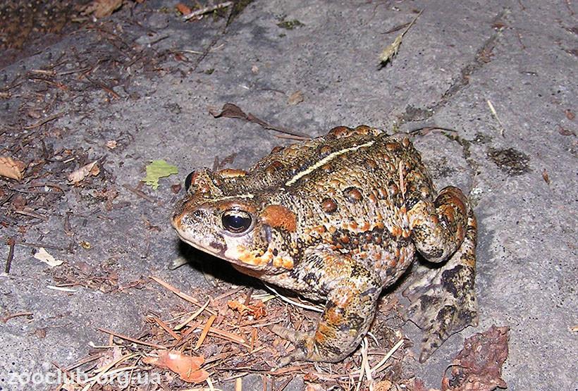Западноамериканская жаба картинка
