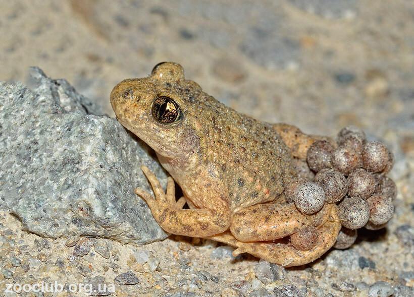 Фото жабы-повитухи обыкновенной