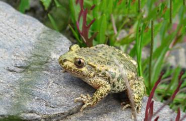 Обыкновенная жаба-повитуха