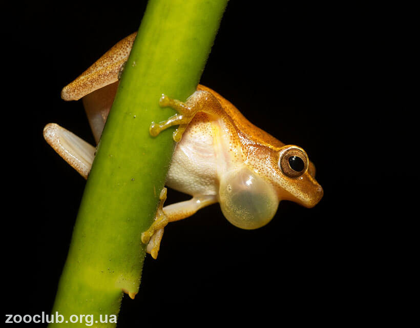 Обыкновенная жаба-повитуха фото