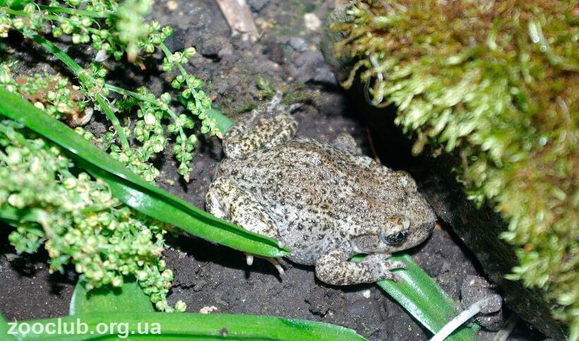 жаба-повитуха обыкновенная фото