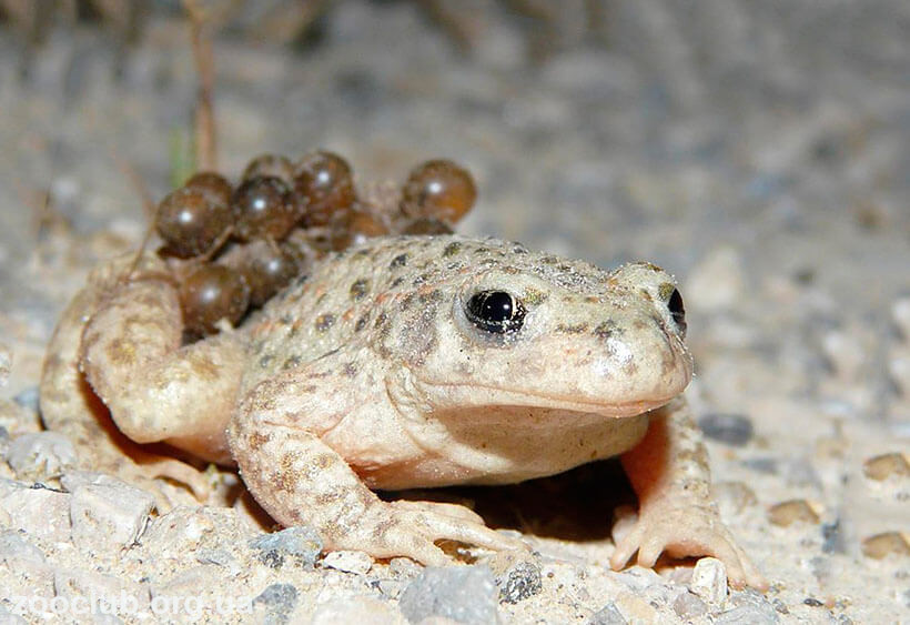 Фото обыкновенной жабы-повитухи