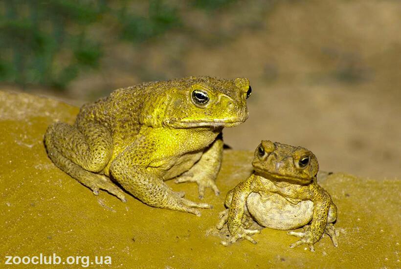 Фото жабы ага