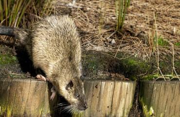 Златобрюхая бобровая крыса, или ракали