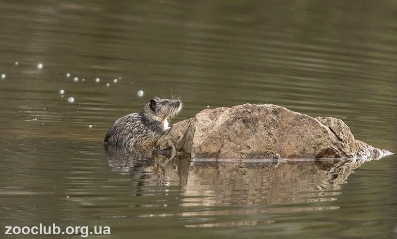 австралийская водяная крыса,