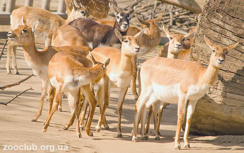 Antilopa cervicapra