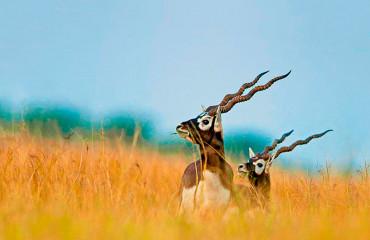 Винторогая антилопа гарна, или оленекозья антилопа