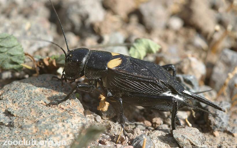 фото Gryllus bimaculatus