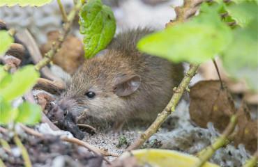 Полинезийская крыса, или малая крыса
