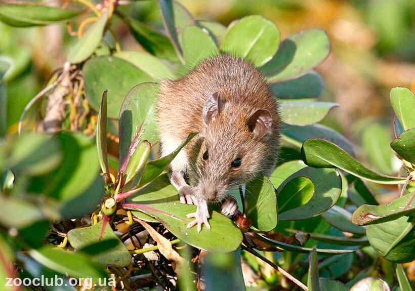 Фото крыса полинезийской