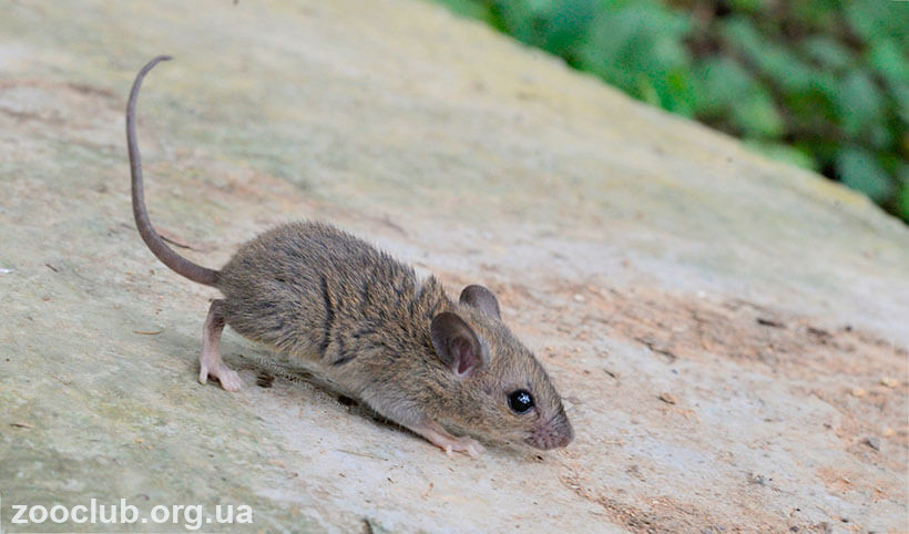 малая крыса фото
