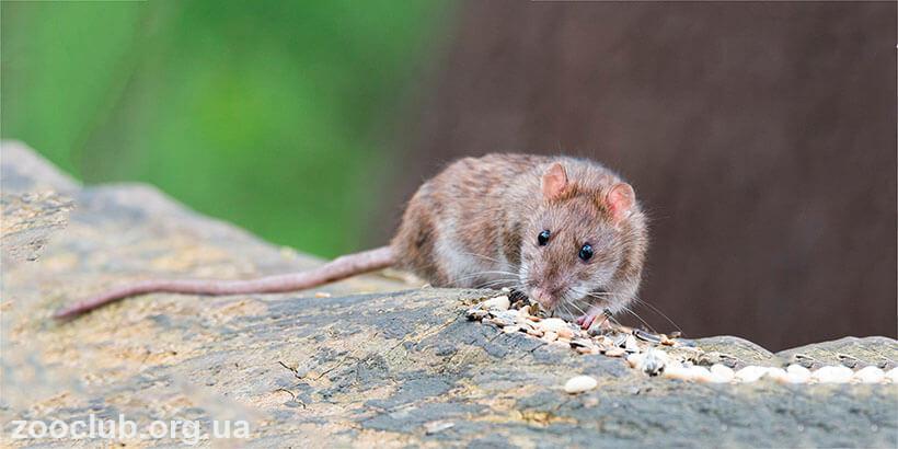 крыса полинезийская фото