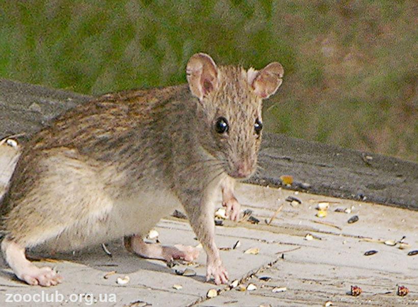 Фото полинезийской крысы