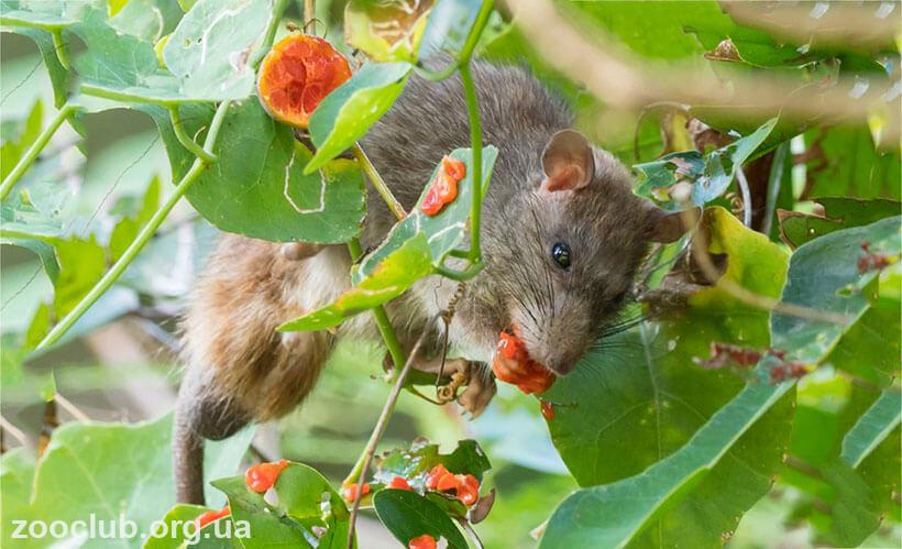 Полинезийская крыса фото